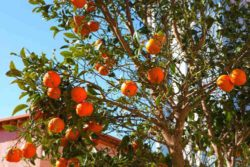 Photo: Mild climate - Oranges in February