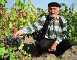 Photo: Winegrower with Kalecik Karasi grapes