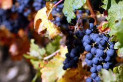 Photo: Tempranillo grapes