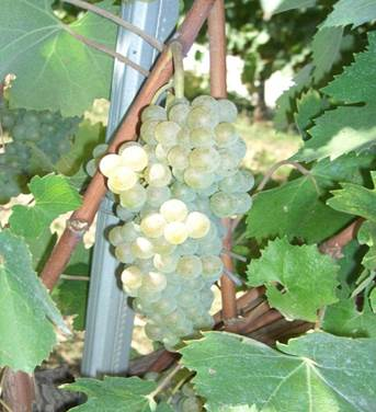 Greco di Tufo grape