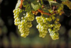 Photo: Riesling. Source: DWI - Deutsches Weininstitut