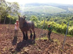 Photo: Working with a horse Source: Ecovin, Demeter, Gerd Kressel / Smart Wines and Andrea Scaramuzza