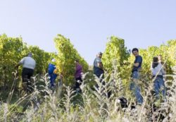 Photo: Grape harvest in the organic vineyard Source: Ecovin, Demeter, Gerd Kressel / Smart Wines and Andrea Scaramuzza