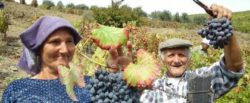 "Photo: Winegrower couple during grape gathering Source: ""Wines of Portugal"" und regionale Winzerverbände!"