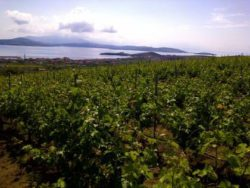 Photo: Vineyards overlooking Marmara Sea
