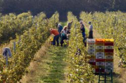 Photo: Grape harvest Lucchine vineyard