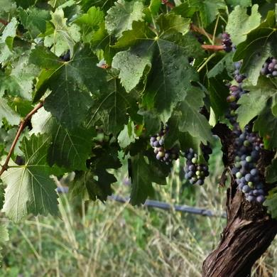 Gardners Ground Shiraz - Mid January 2015