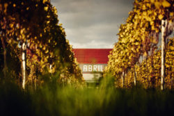 Photo: Vineyard Abril