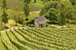 "Photo: Vineyard in Austria ""Steiermark"""
