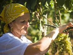 Photo: Harvest worker Tenuta Rubino.