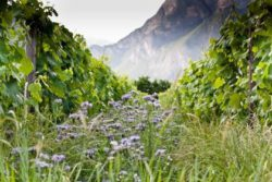 Photo: Organic vineyard at Trentino Source: Ecovin, Demeter, Gerd Kressel / Smart Wines and Andrea Scaramuzza